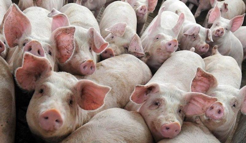 porci pesta porcina