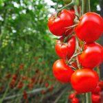 tomata legume