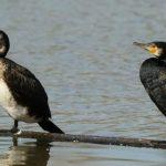 cormorani natura 2000 ferme piscicole