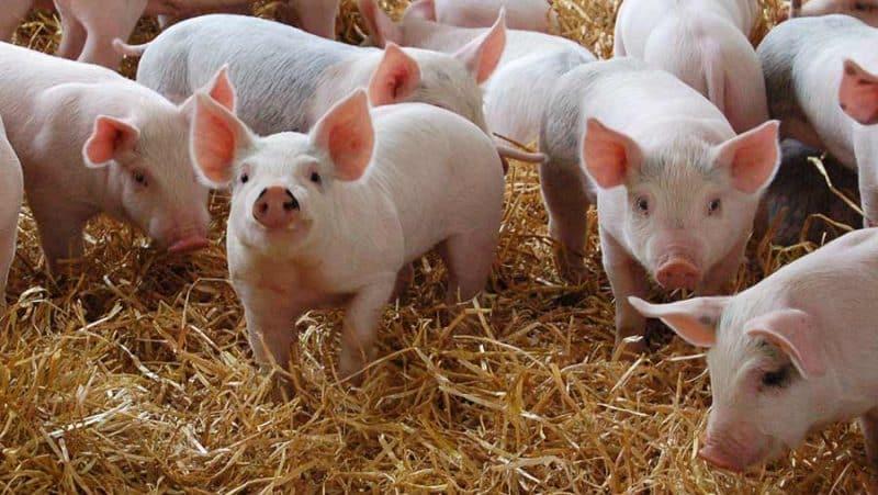 ferme de reproducție porci
