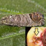 molia orientală a fructelor