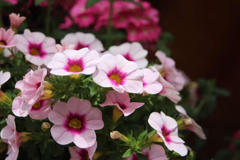 VIDEO Petunia: Cum ingrijim corect florile