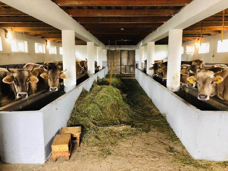 Vizita la ferma de vaci de lapte din rasa Bruna de Maramures. Exemplul afacerii de familie