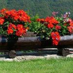 muscate flori rosii
