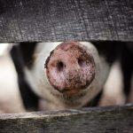 zonă de protecție pesta porcină ferma de porci