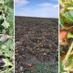 legume distruse de grindină