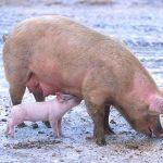 Legi a porcului