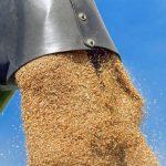 producții grâu
