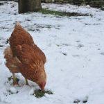 hrănirea găinilor
