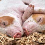 Ordinul 5 porci