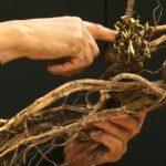 osul iepurelui previne problemele la rinichi