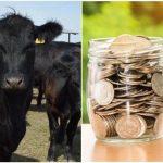 subventii vaci de carne submăsura 4.1 crescatorii de bovine