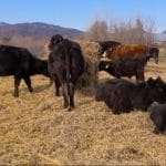 vaca de carne rasa aberdeen angus