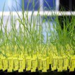 Comisia Europeană aprobă plantele modificate genetic