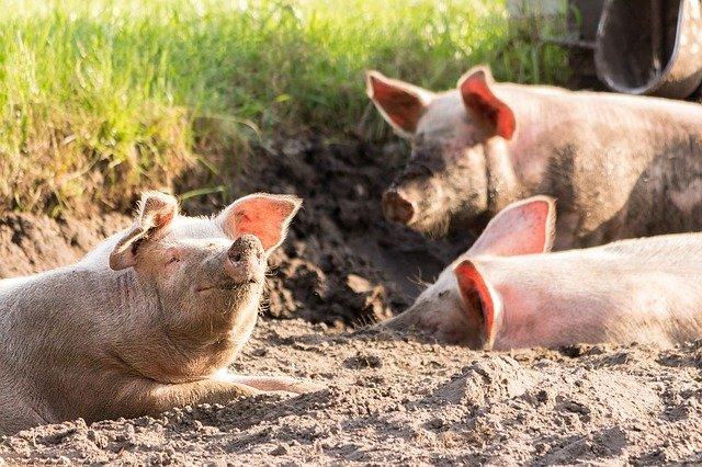 exploatațiile de porci