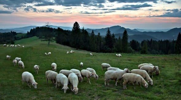 crescatorii de oi