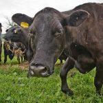 bovine subventie noua