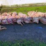 pesta porcină africană PPA