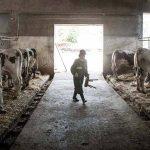 crescator de vaci
