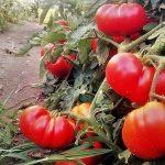 tomate riccio di parma